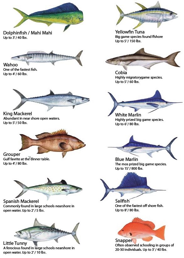 Fish of mexico for Types of fish in the gulf of mexico